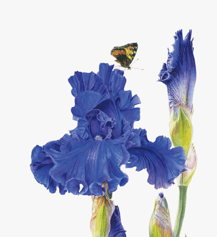 Dossier fleurs : Le dessin botanique